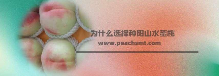 为什么选择种阳山的水蜜桃