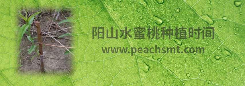 阳山水蜜桃种植时间