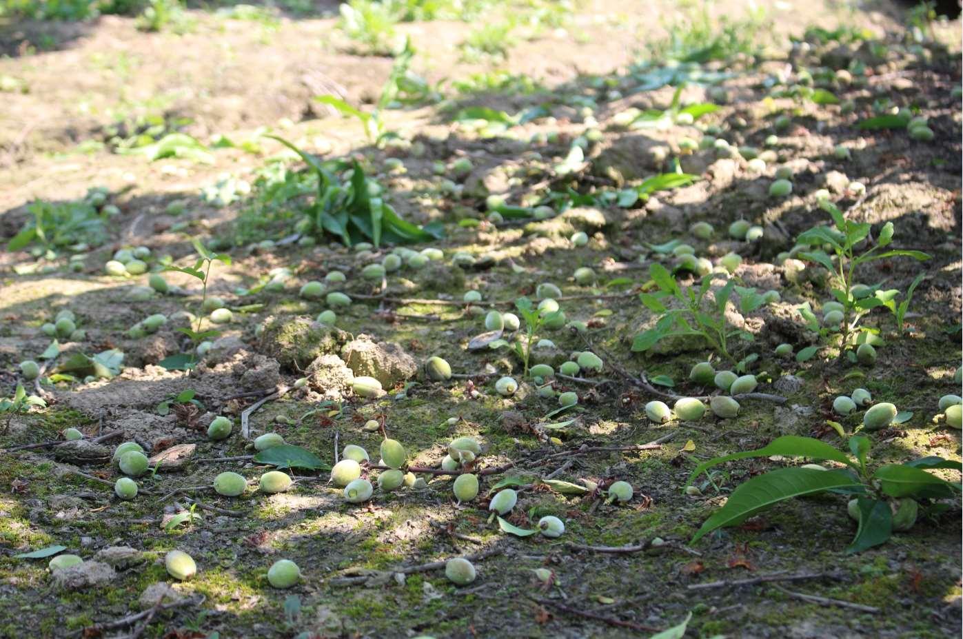 阳山水蜜桃已经进入蔬果阶段