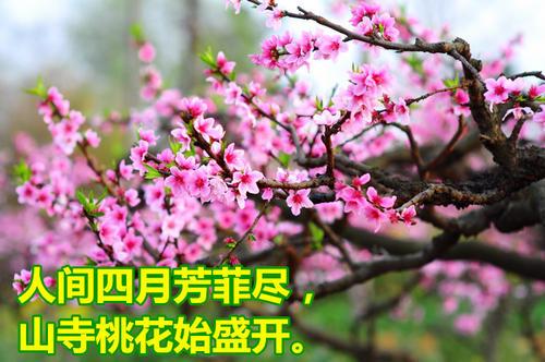一亩地可以种植多少颗桃树?