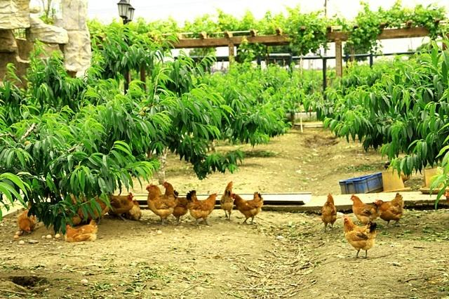 阳山水蜜桃树苗2年生,种植两年生水蜜桃树苗的优势